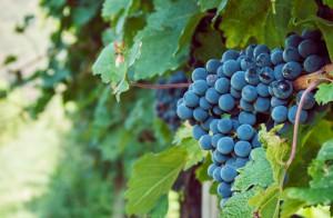 Grappolo di Pinot nero, il vitigno di Castello Bonomi